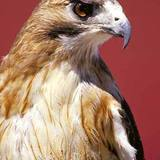 Red-tailed_hawk_lg2