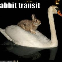 Rabbit_transit
