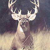 Bigbuck